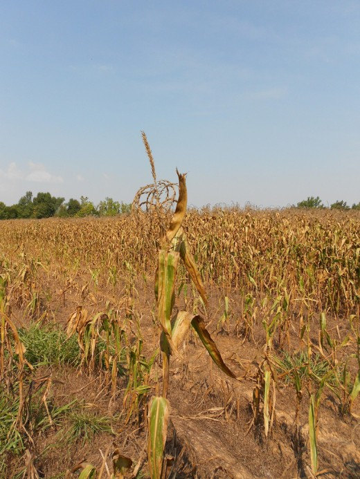 Drought-stressed crops in Midwestern United States.