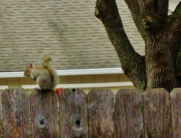 Squirrel on my fence!