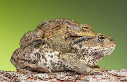 Common Toad pair in amplexus, In Public Domain