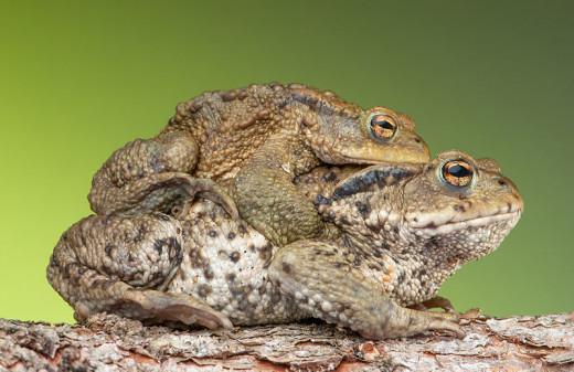Common Toad pair in amplexus, In Public Domain