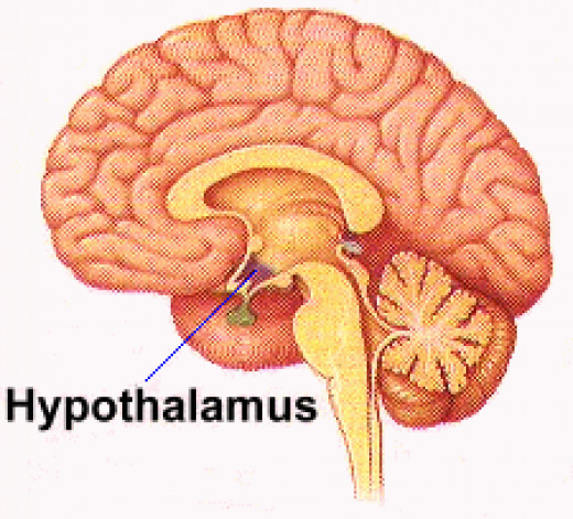 The hypothalamus controls many functions such as sexual drive, hunger, thirst. The missing or unexpressed chromosome 15 causes a problem with the hypothalamus and disrupts all these processes. This is one of the main reasons for the continuous hunger