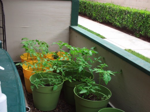Tomato plants are growing up strong.