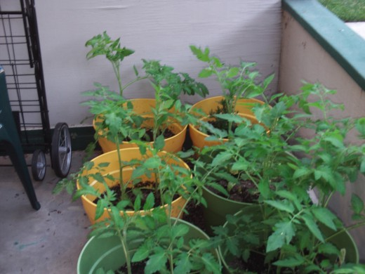 Waiting for the tomato plants to get taller and stronger so they will produce delicious fruit.