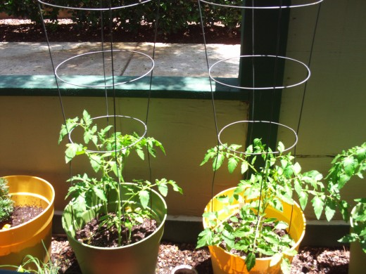 Tomato plants in the container garden.
