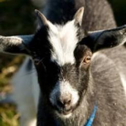 What Burns My Goat PT XV
