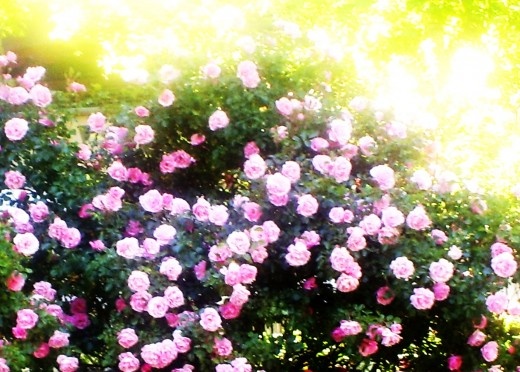 Roses in the early morning sunlight.