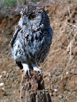 Another Eastern Screech Owl image.  Note how small screech owls are at approximately 8 or 9 inches tall and 22 inch wingspans.