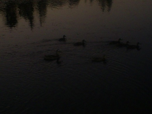 The ducks eyes glow in the photographs.