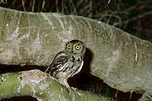 This screech owl is often sighted in Arizona.  Lives in cactuses when not having its territory encroached upon by humans.
