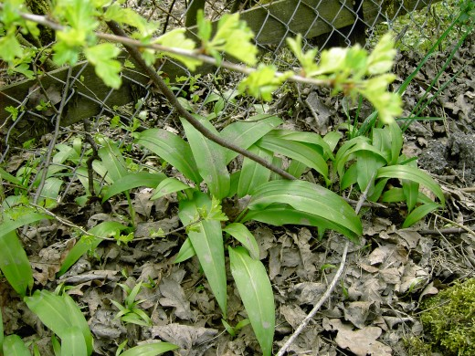 The foliage of Ramsons have a pungent smell of garlic in the spring
