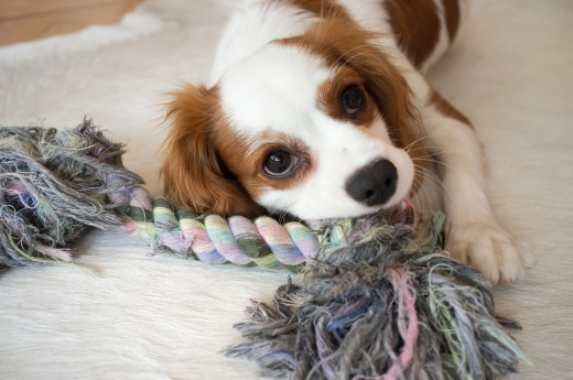 The King Charles Spaniel