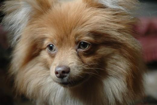 The German Pomeranian Spitz