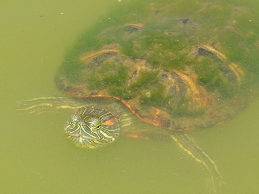 This was my best Turtle Photo ever, I love wild life, always have always will