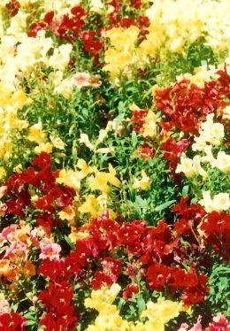 Butchart Gardens flowers