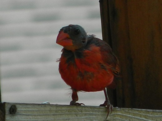 This Male Cardinal Pulled His Feathers