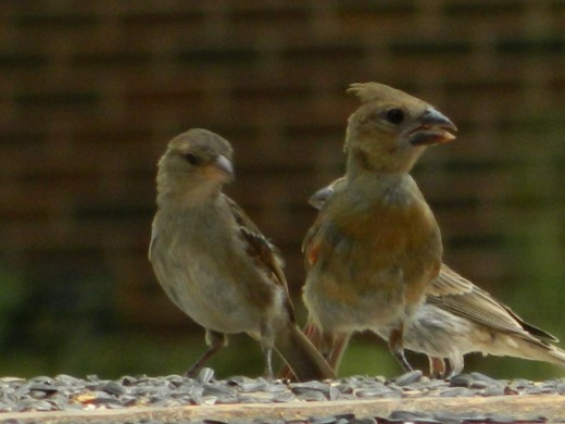 Juvenile Northern Cardinal on right(notice the black bill)