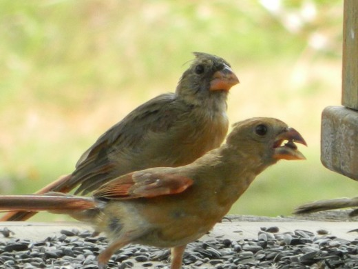 Female Northern Cardinal (rear)