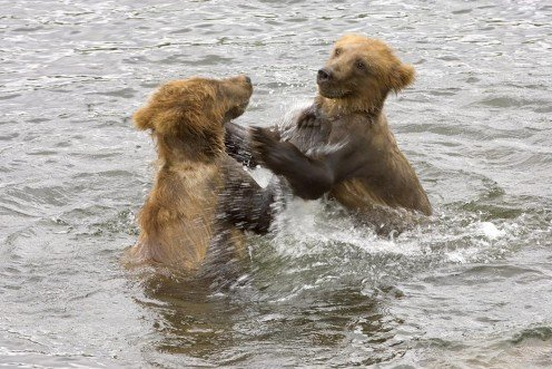 Brown bear cubs playing in the water