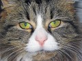 Feline Lower Urinary Tract Disease  (FLUTD) Signs and Symptoms