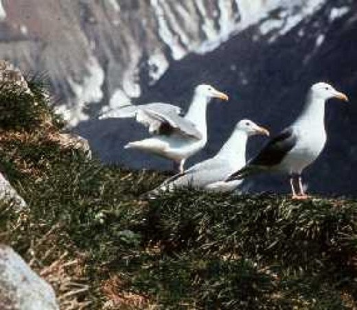 Glaucous-winged gull colony in Glacier Bay