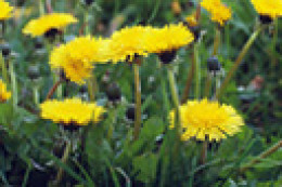 Use dandelion greens in salads or steamed. Try dipping the flowers in batter and frying them!