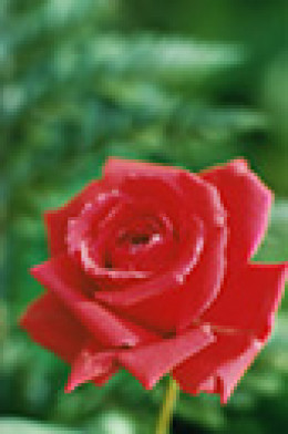 Chop fresh, pesticide free rose petals and add them to pound cake or boxed yellow or white cake mix.