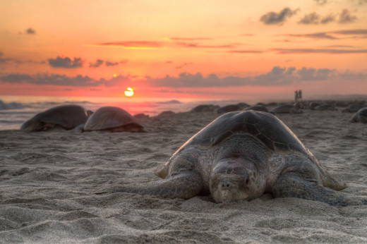 Olive ridley turtle nesting on Escobilla Beach, Oaxaca, Mexico.