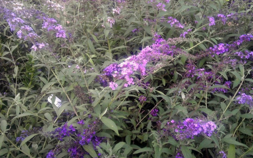 Purple Dubonnet butterfly bushes, beautiful in the backyard.