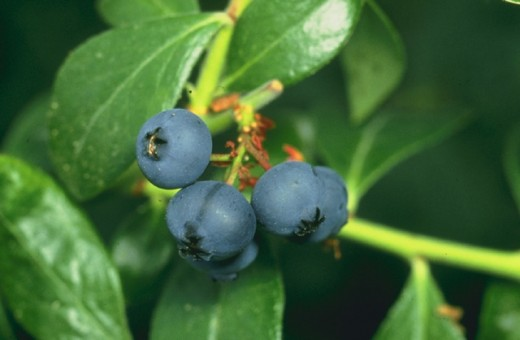 Organic blueberries are one of the easiest fruits to grow and are a great addition to a healthy diet.
