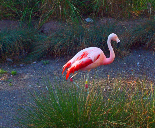 Pink Flamingo at Woodland Park Zoo