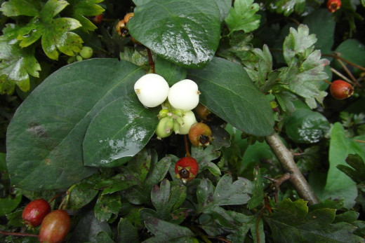 Snowberry (amongst hawthorn)