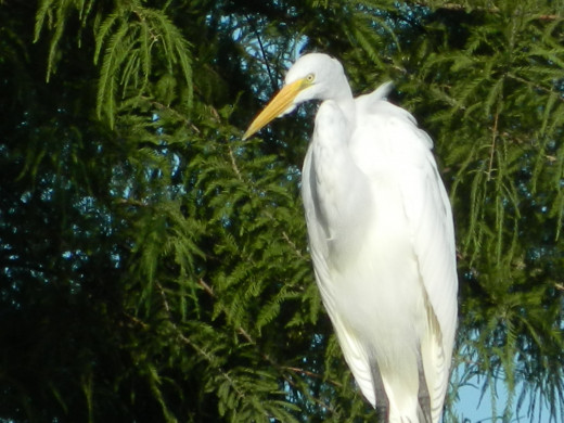 Great Egret can get in a tree, too!