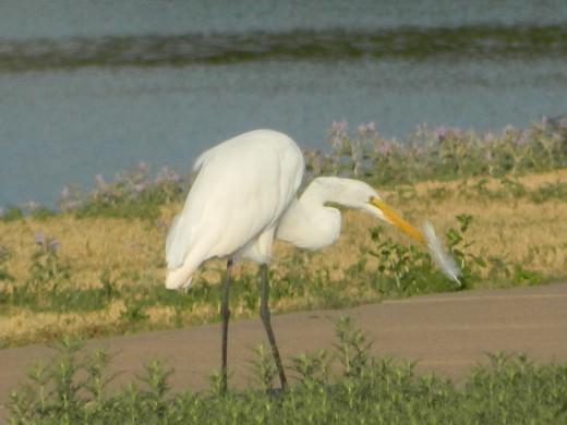 Great Egret with Egret feather