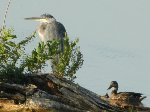 Great Blue Heron with Mallard
