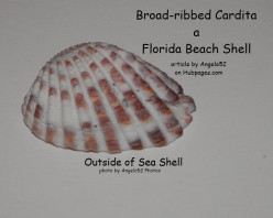Broad-ribbed Cardita a Florida Beach Sea Shell