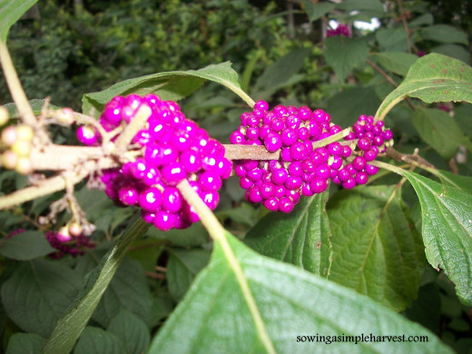 Birds love to consume the bright purple seeds of the American Beautyberry.