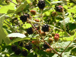 Berries and rose hips are food for migrating birds, as well as for people.