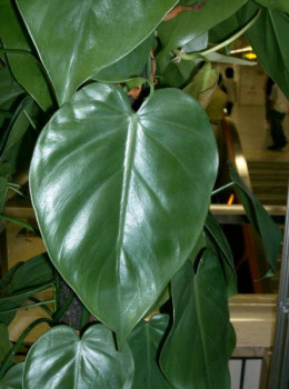 Philodendrons are one of the most popular house plants - Most popular house plants ...