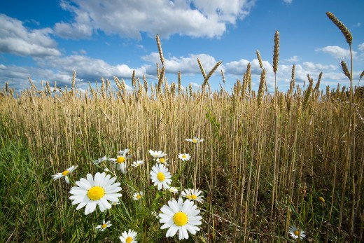 Chamomile (Growing by a Wheat Field): A Farmer's Bane