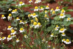 Chamomile Tea: Benefits and Side Effects