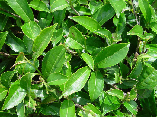 This photograph, a closeup of leaves of a Camellia sinensis plant taken by Axel Boldt on May 17, 2004, has been released by the copyright holder into the public domain worldwide.
