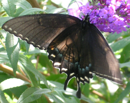 When I viewed this photo, I wondered at first if it were out of focus. But it's not. This swallowtail is  unique in that even while feeding, it continues to flutter its wings.