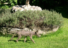 This was thought to be a Chupacabra but is actually a coyote with really bad mange.  Poor creature!