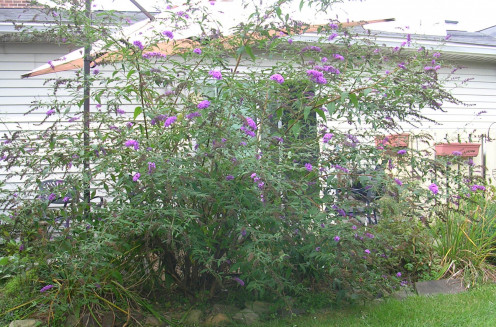 This Buddleja Bar is topping 12 feet and looks like hell. But it invites the most beautiful butterflies, birds, and bees.