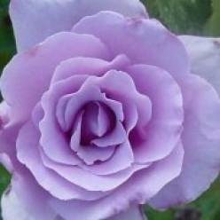Blue Girl Hybrid Rose