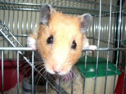 -=Hamster_Peering_Out_of_Cage=-