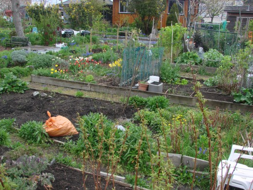 A highly productive front yard in Victoria, BC. So much food grown in so little space.