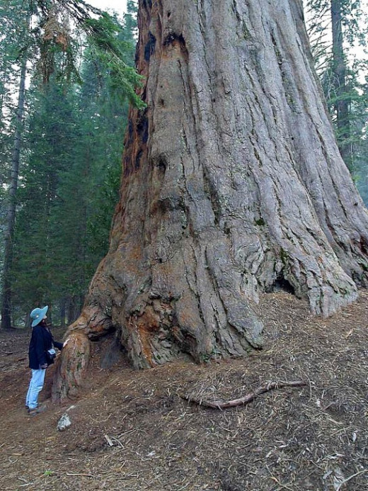 Perhaps one day the tree you planted may grow to be as big as this magnificent Sequoia.