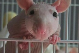 Hairless rats are becoming increasingly common in the pet trade.