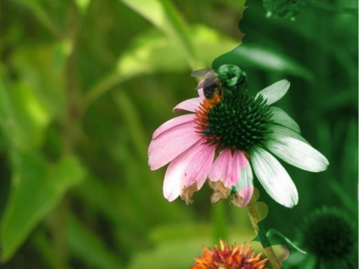 A Cone Flower partially recolored to show what it would look like under green light.
